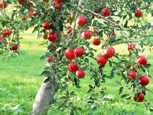 apple-tree-1-wa1htphfbb-800x6001